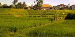 Land for sale with rice view in Batubelig Bali 3